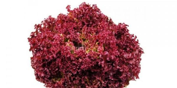 Salata Lolio Rossa Romaneasca